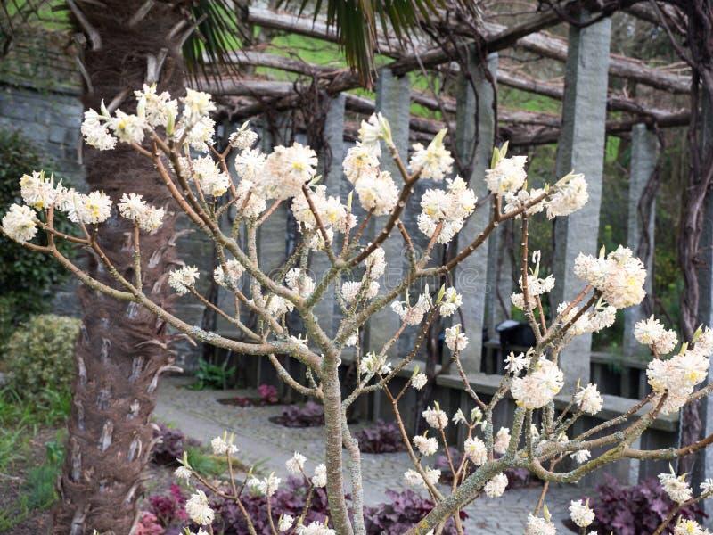 Japoński drzewo zaczyna kwitnąć Japanischer papierbusch zdjęcie royalty free