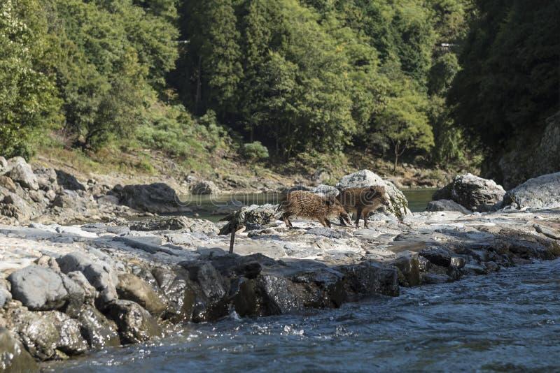 Japoński dziki knur Japonia obraz stock