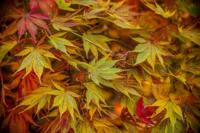 Japoński klonowy drzewo w jesieni zamkniętej w górę zdjęcia stock