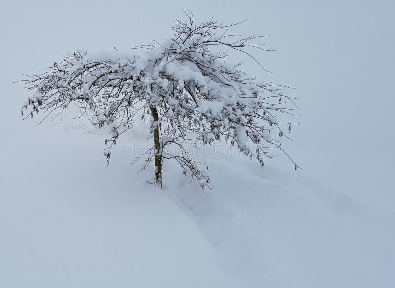 Japoński klonowy drzewo w zimie fotografia stock