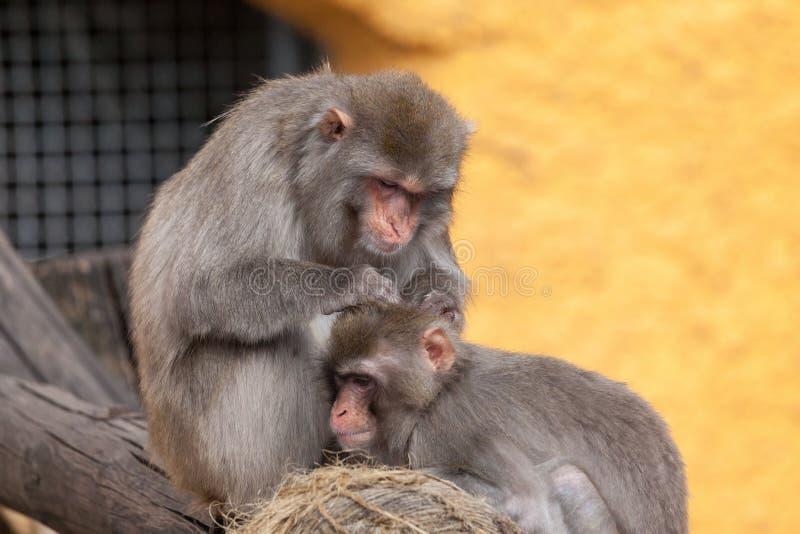 Japoński makak, śniegu Macaca małpi fuscata w Moskwa zoo obrazy stock