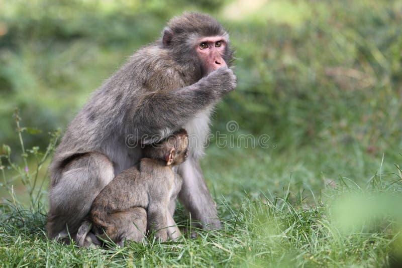 japoński makak zdjęcie stock