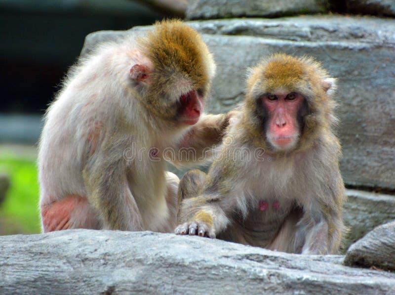 Japoński makak, obraz royalty free