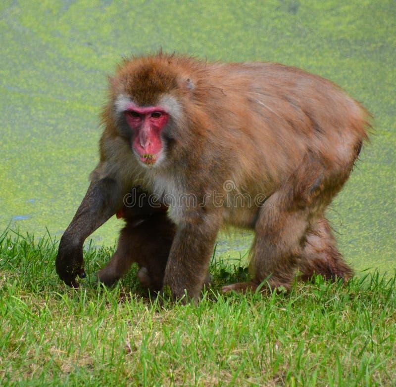 japoński makak zdjęcia stock