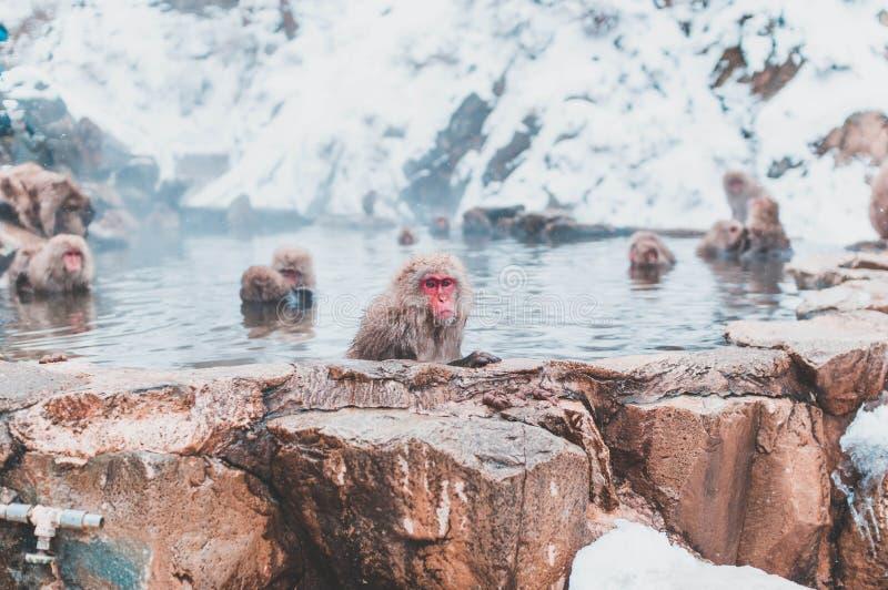 Japoński makak odpoczywa w gorącej wiośnie obrazy royalty free