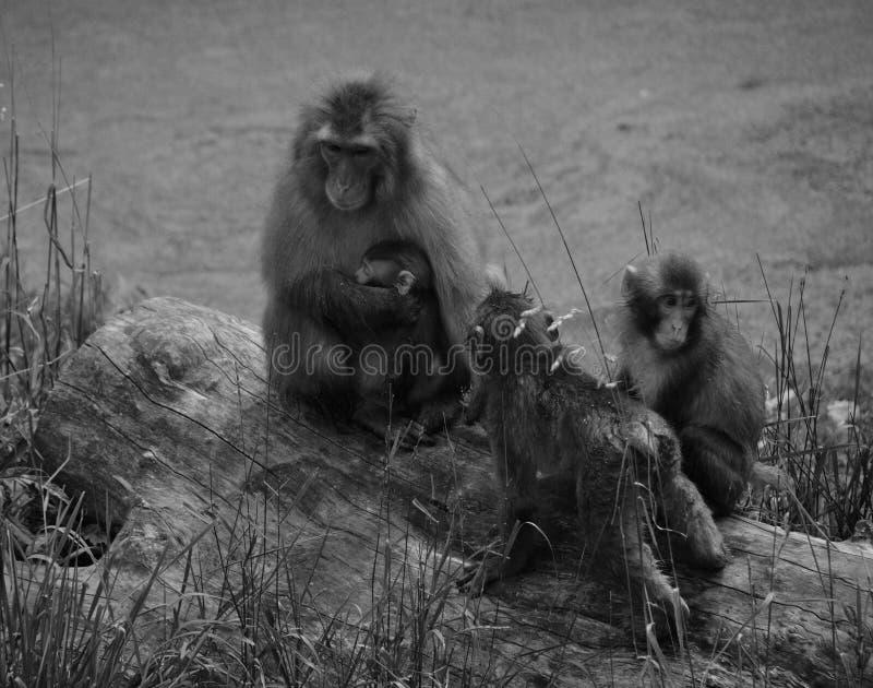 Japoński makaka Macaca fuscata, fotografia royalty free