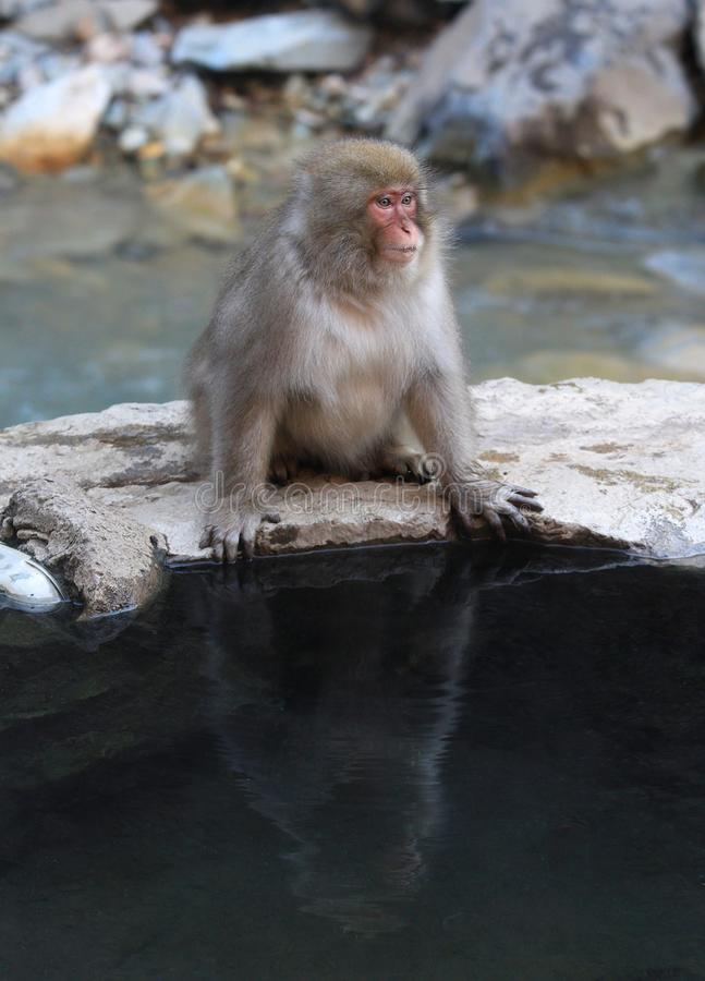 Japoński makaka Macaca fuscata obraz royalty free