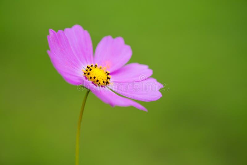Japoński Makowy kwiat obraz royalty free