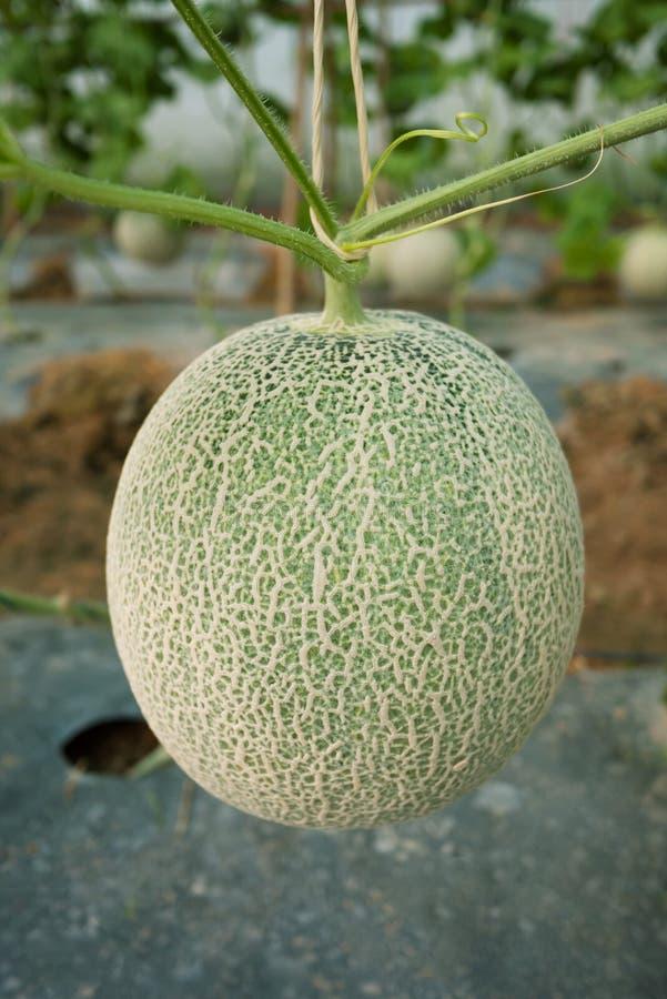 Japoński melon zdjęcia stock