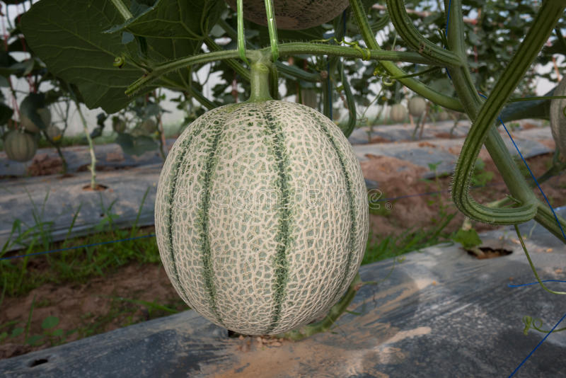 Japoński melon fotografia stock