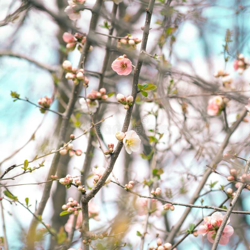 Japoński oko Zosterops japonicus na Czereśniowym okwitnięciu i s zdjęcia stock
