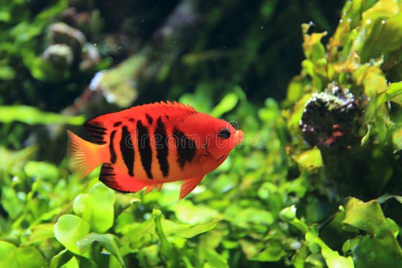 Japoński pigmejowy angelfish obrazy stock