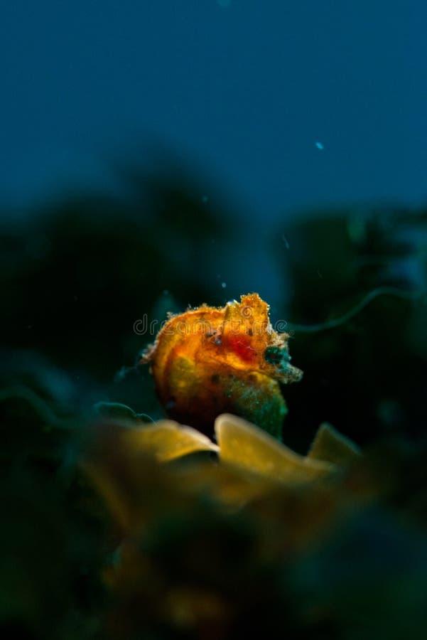 Japoński pigmejowy seahorse fotografia stock