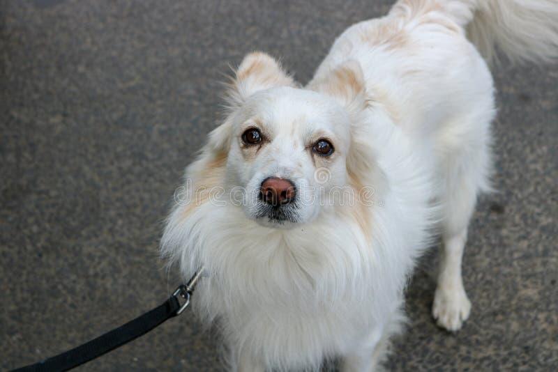 Japoński Spitz bielu pies obrazy royalty free