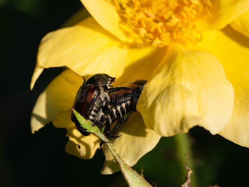 Japońskie ścigi kopuluje na kolor żółty róży obrazy stock