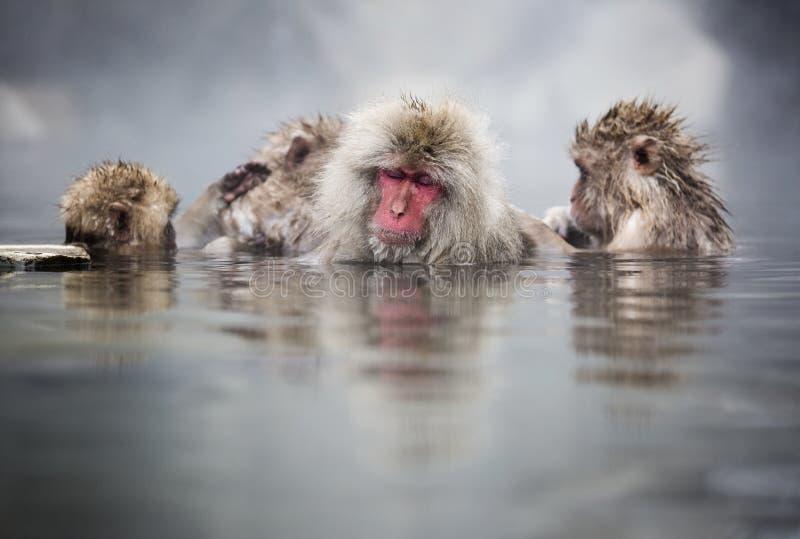 Japońskie śnieg małpy obraz stock