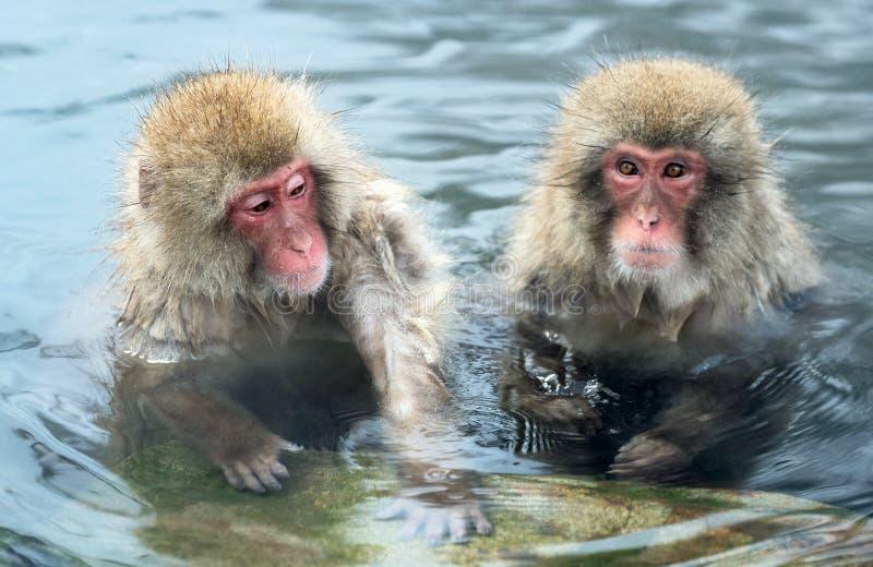 Japońskie makaki w wodzie naturalnego oprysku gorącym Nazwa naukowa: Macaca fuscata, znana również jako małpa śniegowa Naturalny zdjęcie stock