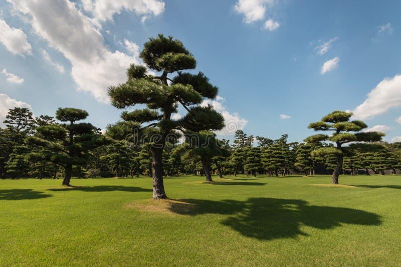 Japońskie sosny fotografia stock