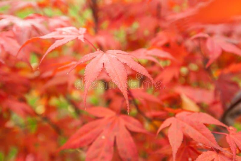 Japońskiego klonu Acer palmatum obrazy stock