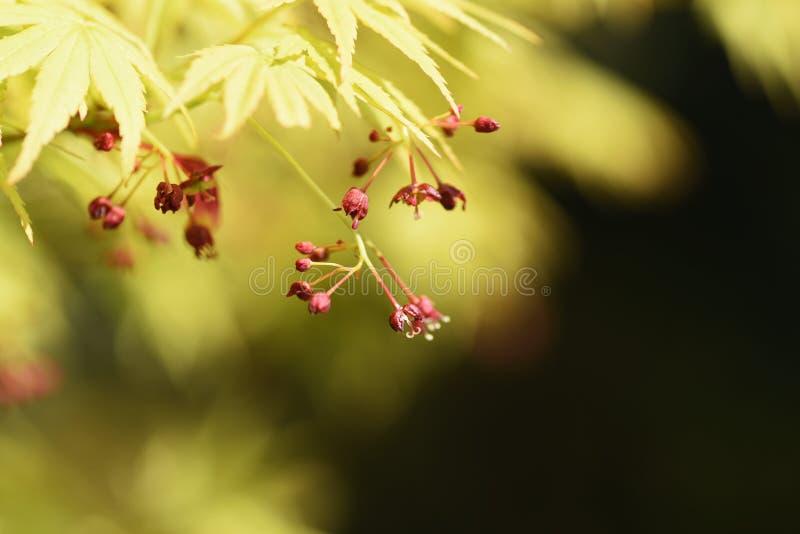 Japońskiego klonu kwiaty zdjęcie royalty free