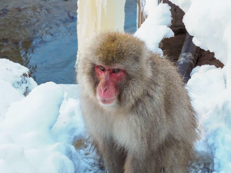 Japońskiej śnieg małpy zimy śnieżny sezon w gorącej wiośnie Onsaen, zwierzęcy przyrody natury istoty Jigokudan park, Nakano, Japo obrazy stock