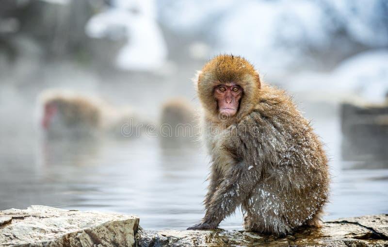 Japo?ski makak na kamieniu blisko naturalnych gor?cych wiosen, Naukowy imi?: Macaca fuscata, tak?e zna? jako ?nie?na ma?pa natura obrazy stock