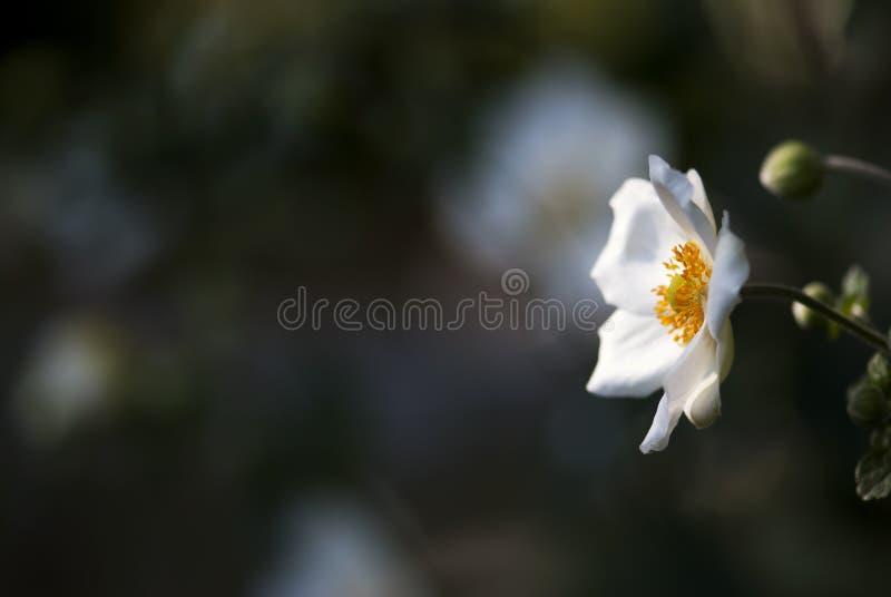 Japonés blanco Anemone Flower con el fondo oscuro foto de archivo