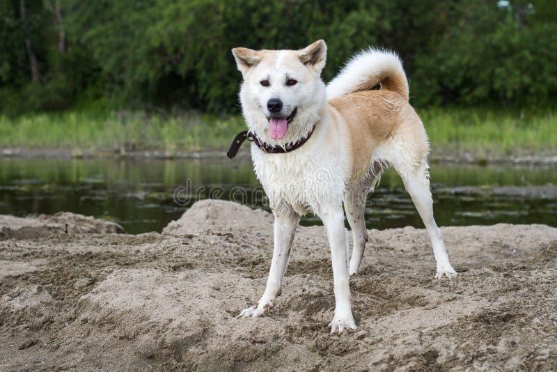 Japonés mojado hermoso divertido Akita Inu del perro en una isla de la arena en el río en verano en un fondo natural foto de archivo libre de regalías