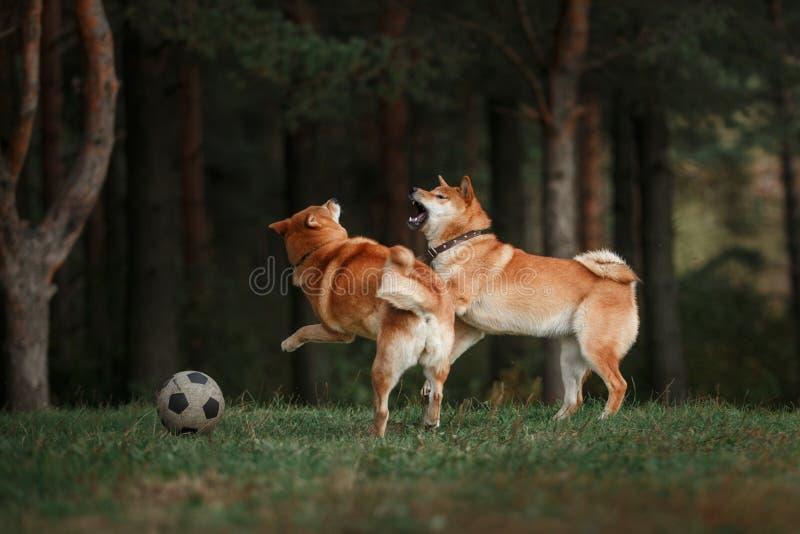 Japonés rojo Shiba de la raza del perro imagenes de archivo