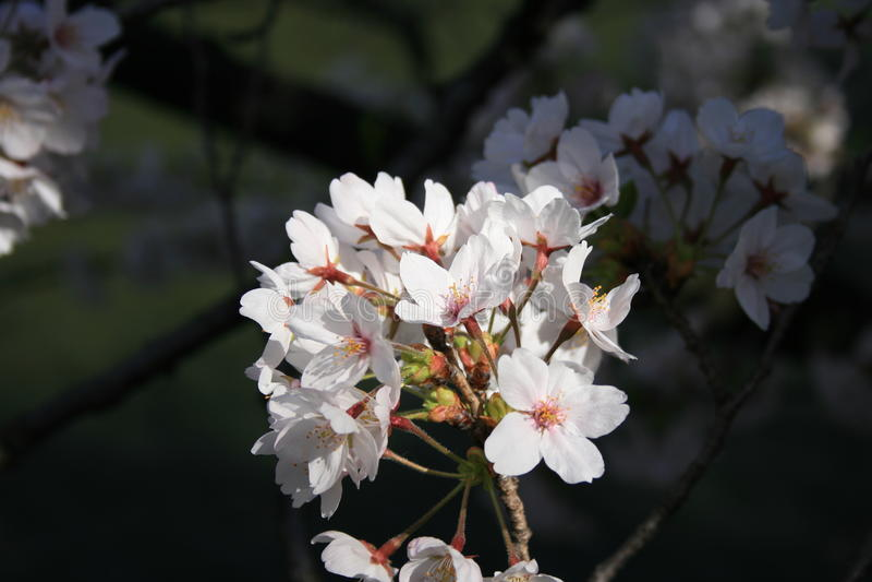 Japonés Sakura imagenes de archivo