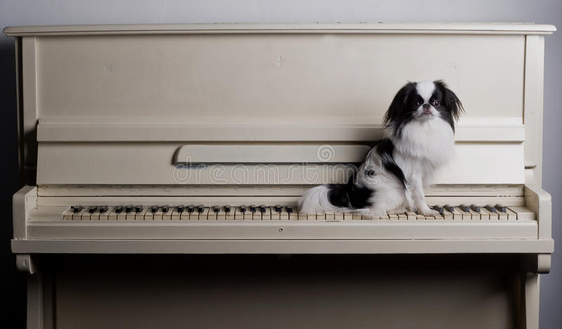 Japonês Chin no piano imagem de stock
