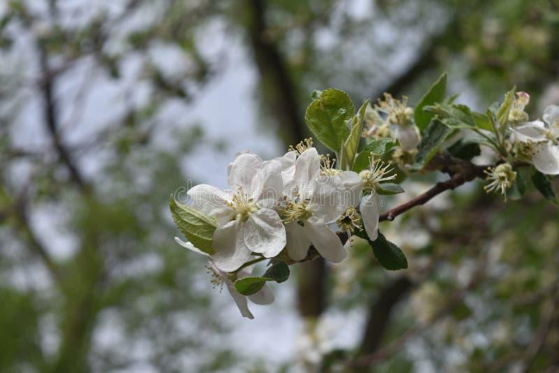 Japonês de florescência Cherry Tree do branco na mola fotografia de stock