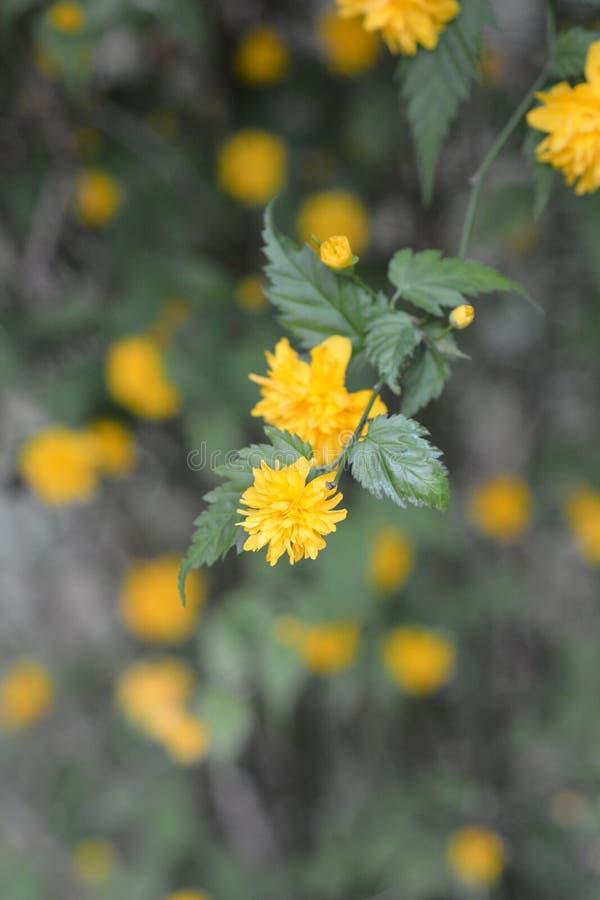 japonês Dobro-florescido Kerria foto de stock
