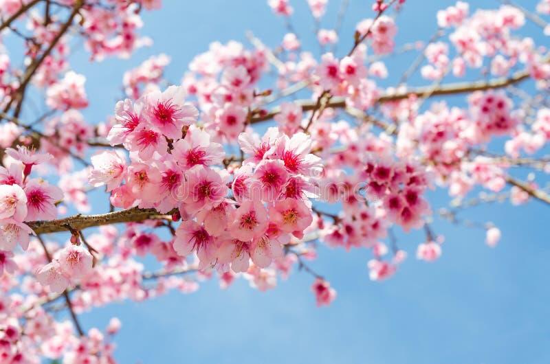 Japonais Sakura et ciel bleu image libre de droits