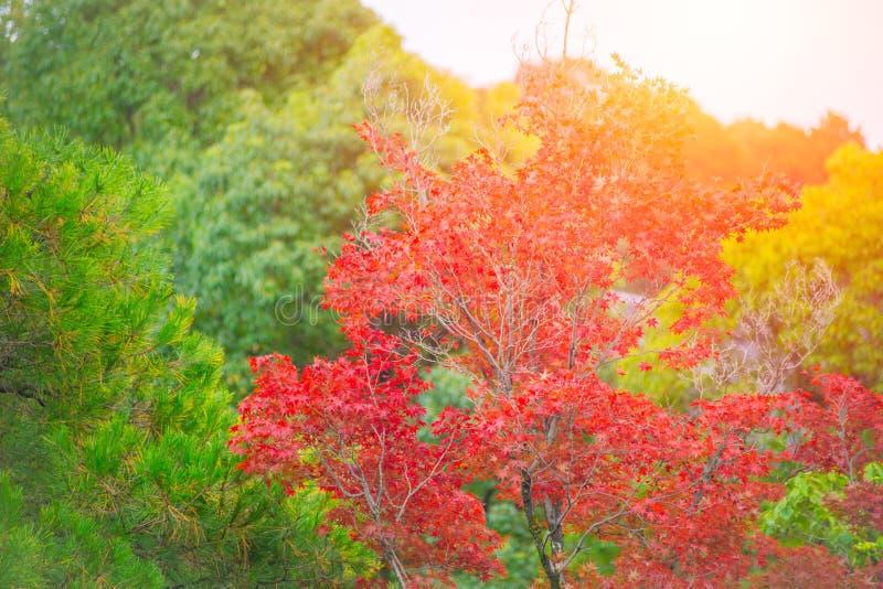 Japonia czerwony klon Kolor natury jesieni sezon zdjęcia royalty free