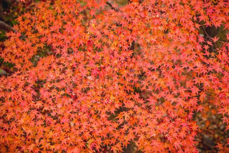 Japonia jesieni czerwonego klonu tło fotografia royalty free