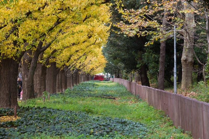 Japonia jesieni park, Żółty Ginkgo drzewo, Tokio obrazy stock