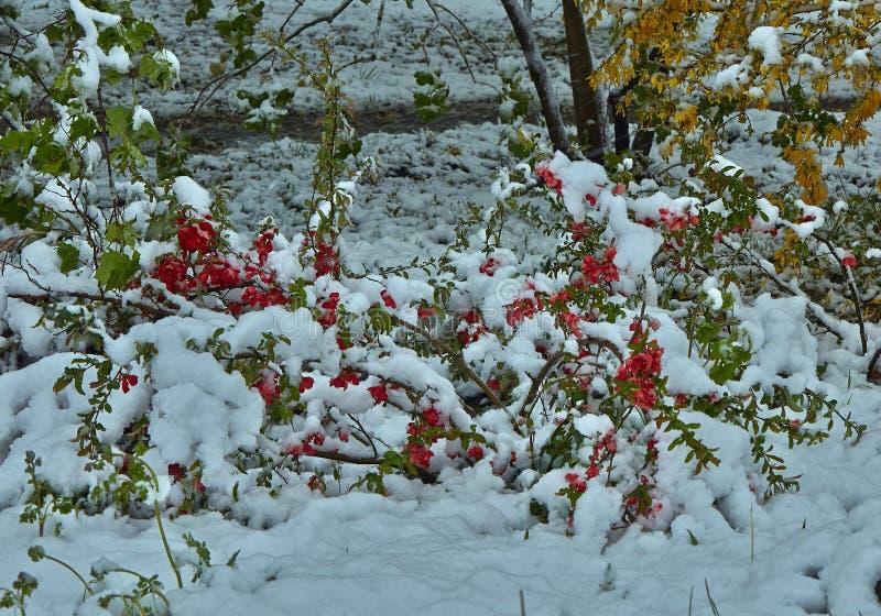 Japonica Chaenomeles Ανθίζοντας θάμνος κάτω από το χιόνι στοκ εικόνες με δικαίωμα ελεύθερης χρήσης