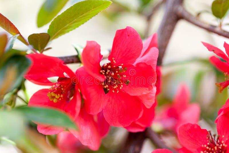 Japonica Chaenomeles японской айвы - ветви с красивыми цветками стоковое фото rf