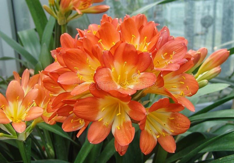 Japonica da azálea - na flor imagens de stock