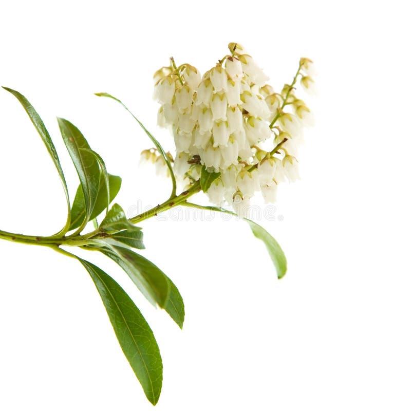 Japonica de florescência do Pieris fotografia de stock royalty free