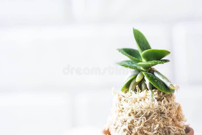 Japonica de Mini Orchid Sedirea, Minmaru imagen de archivo