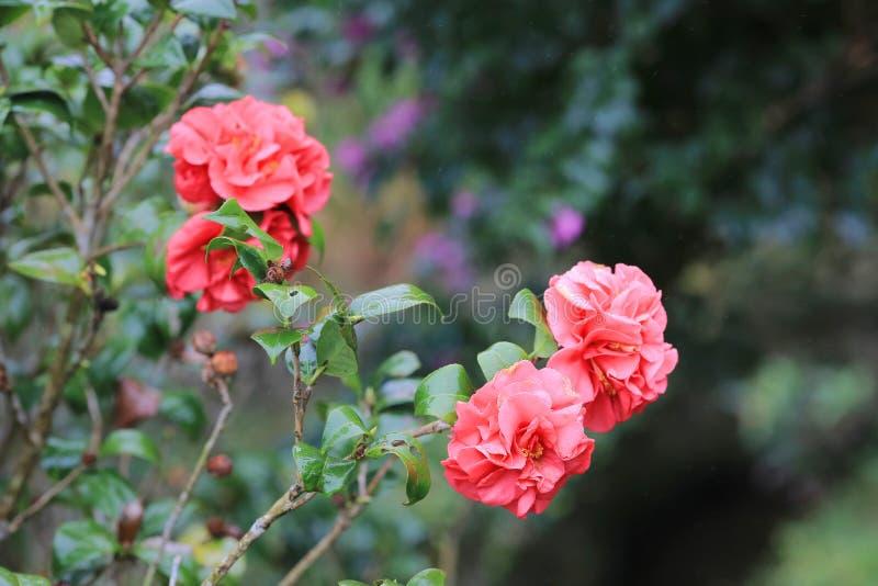 Japonica Debutante камелии, двойное розовое цветене стоковое фото rf