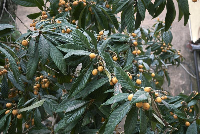 Japonica del Eriobotrya con los nísperos maduros imagen de archivo