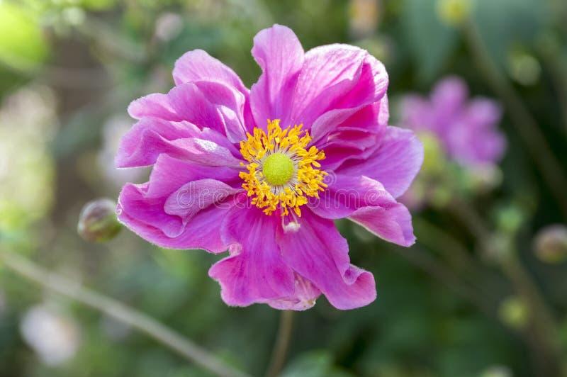 Japonica del hupehensis de la anémona, anémona japonesa, flor doble, windflower del thimbleweed en la floración imágenes de archivo libres de regalías