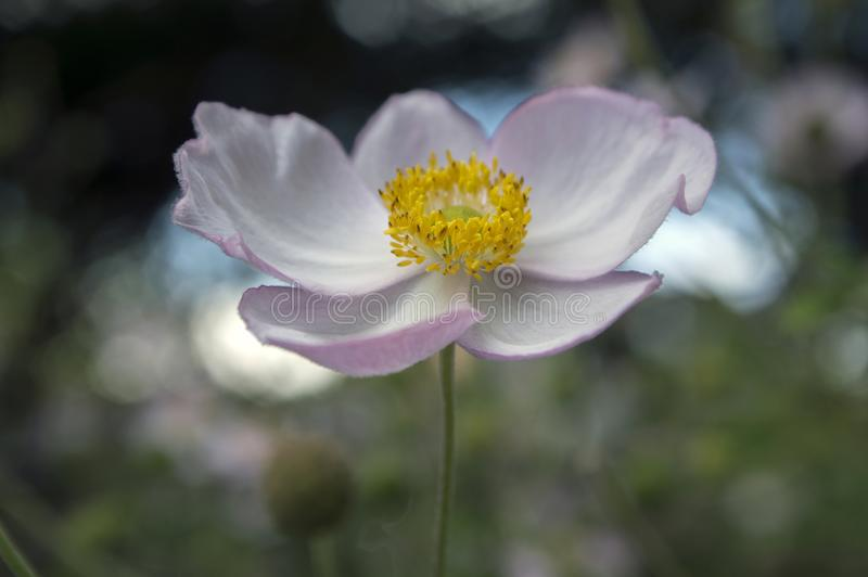 Japonica del hupehensis de la anémona, anémona japonesa, windflower del thimbleweed en la floración foto de archivo