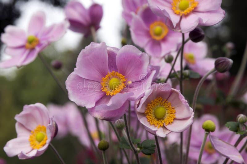 Japonica del hupehensis de la anémona, anémona japonesa, windflower del thimbleweed en la floración fotografía de archivo libre de regalías