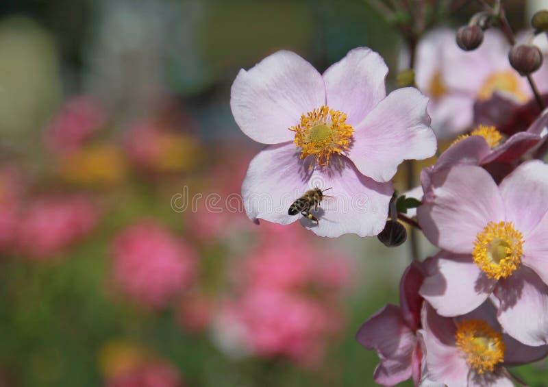 Japonica dell'anemone e ape del miele fotografia stock