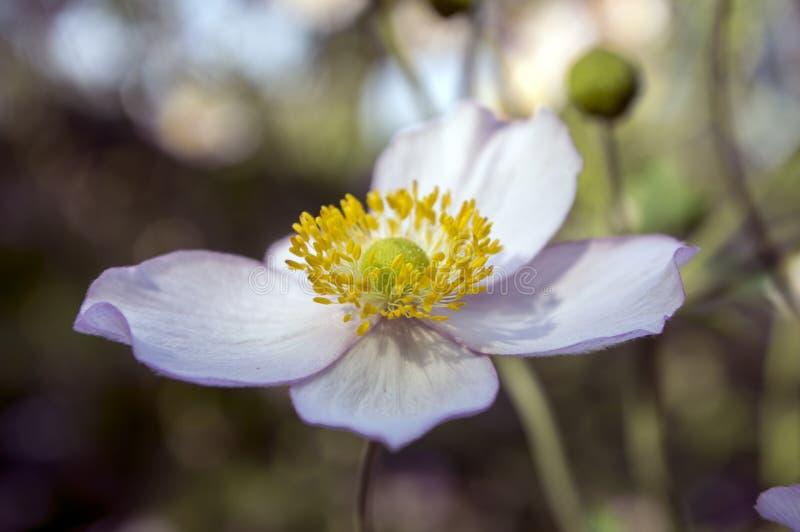 Japonica di hupehensis dell'anemone, anemone giapponese, windflower del thimbleweed in fioritura immagini stock libere da diritti