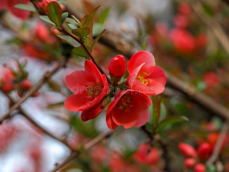 Japonica do marmelo japonês ou do Chaenomeles Flores do jardim do japonica do Chaenomeles na primavera foto de stock royalty free